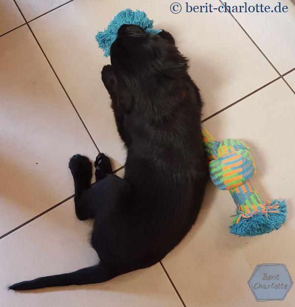 Wenn Herrchen einkaufen geht, ist das Spielzeug oft größer als der Welpe - aber wir denken ja nachhaltig, und Cleo will mal ein großer Hund werden.